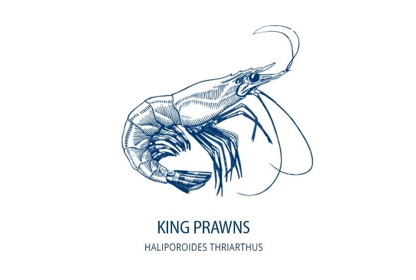 King Prawn - Haliporoides Thriarthus